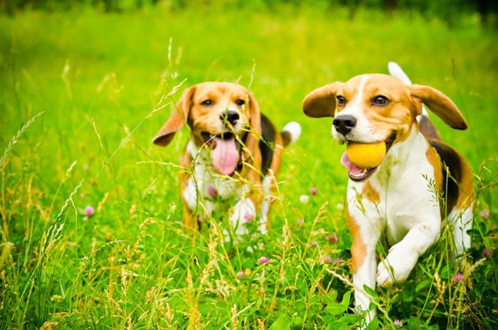 about_beagle_68320235
