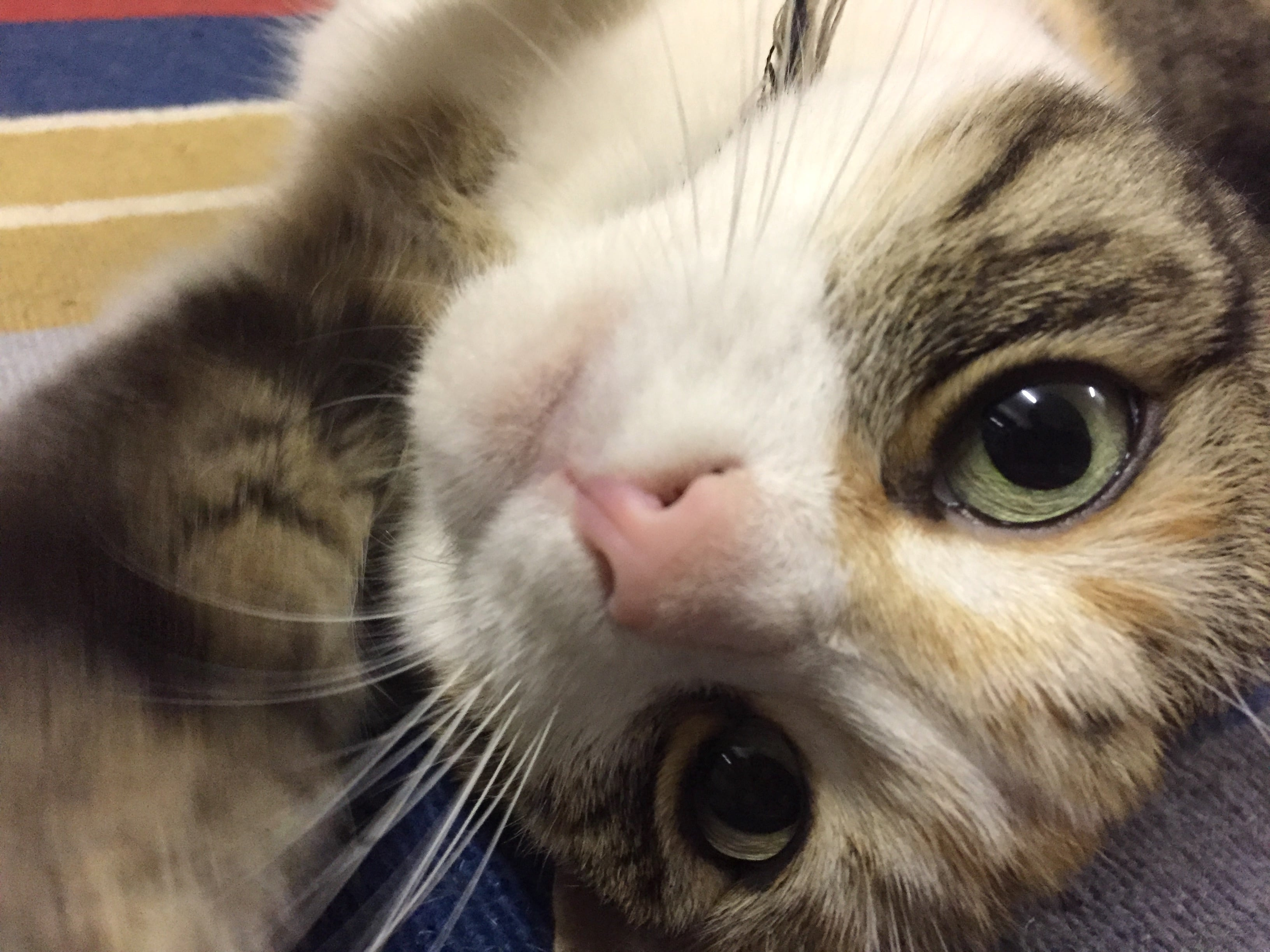 Kidney Disease In Cats Why Is It So Common Healthy Pet Mobile Vet